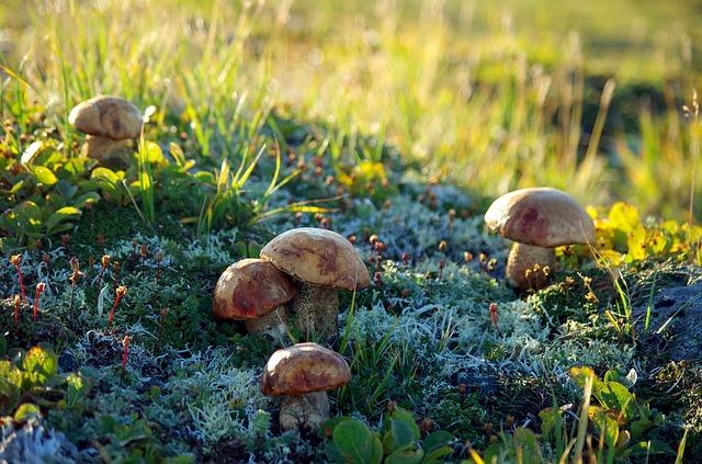 hongos-tundra