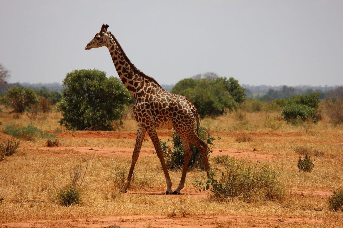 jirafa en la sabana