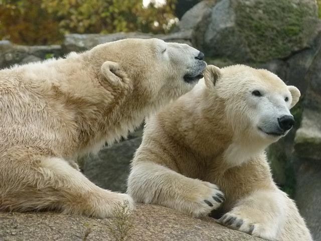 osos-polares