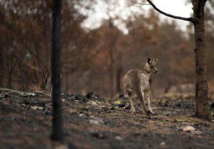 canguro perdido en el bosque despues de los incendios forestales en australia