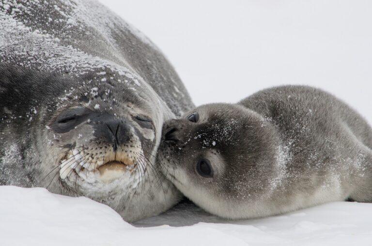 foca bebe con su madre dormida