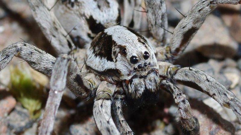 gran araña zorro que se creia extinta